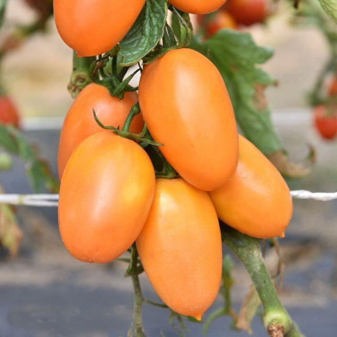 Сорт томата Золотой самородок