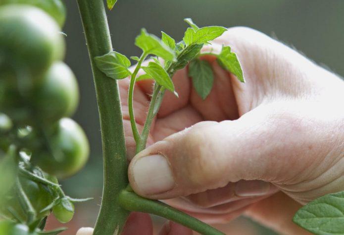 Удаление пасынков томатов