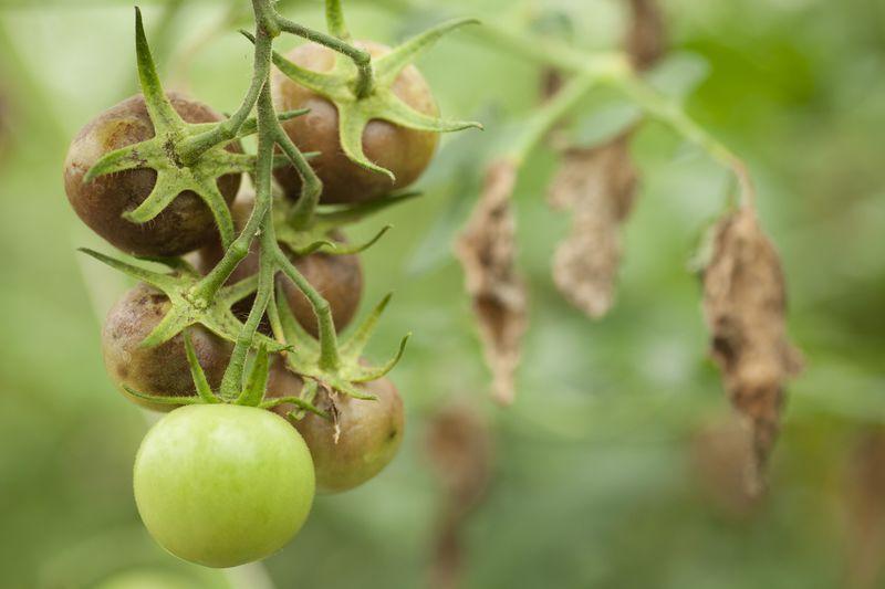 На помидорах появились коричневые пятна