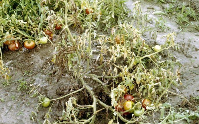 Фузариоз томатов