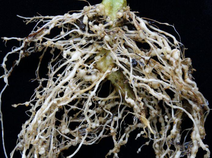 Галловая нематода на корнях томатов
