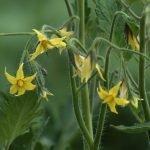 Отсутствие плодовых завязей на томатах
