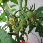 Мелкие завязи томатов
