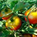 Неравномерно созревающие томаты