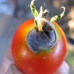 Чернеющий томат