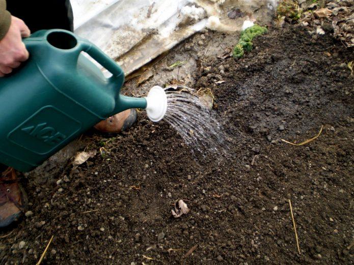 Полив почвы под томаты из лейки