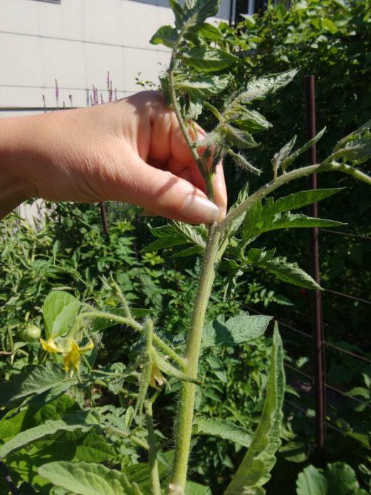Прищипка верхушки томата