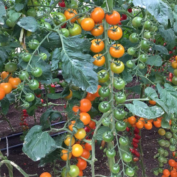 Гибридный томат Волшебная арфа