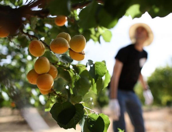 Весенняя посадка абрикоса: особенности и правила