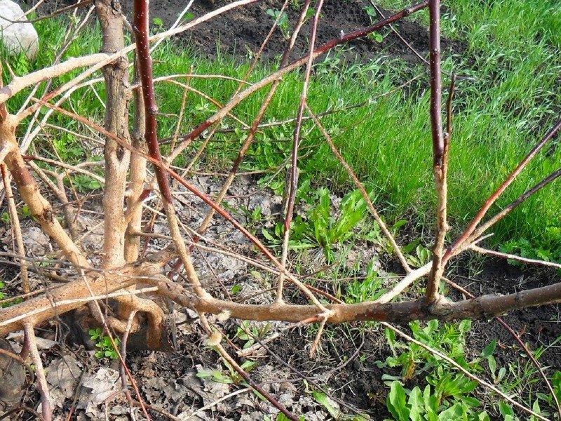 Как защитить корни яблони от грызунов