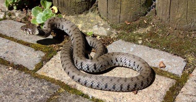 Змея на приусадебном участке