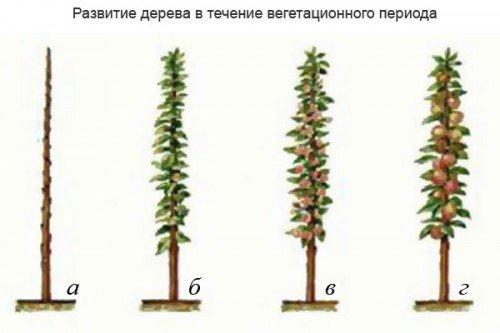 Рост колонновидной яблони
