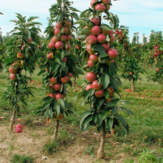 Сад колонновидных яблонь