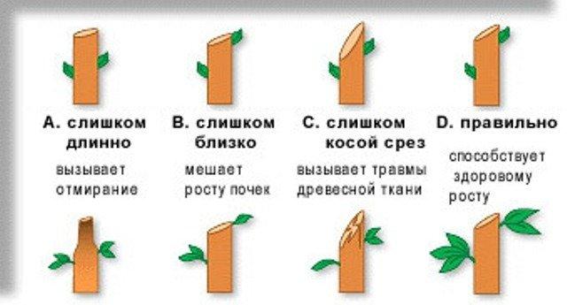 Схема обрезки побегов