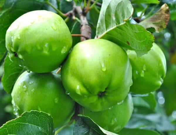 Самые распространённые летние сорта яблонь: характеристики и отзывы