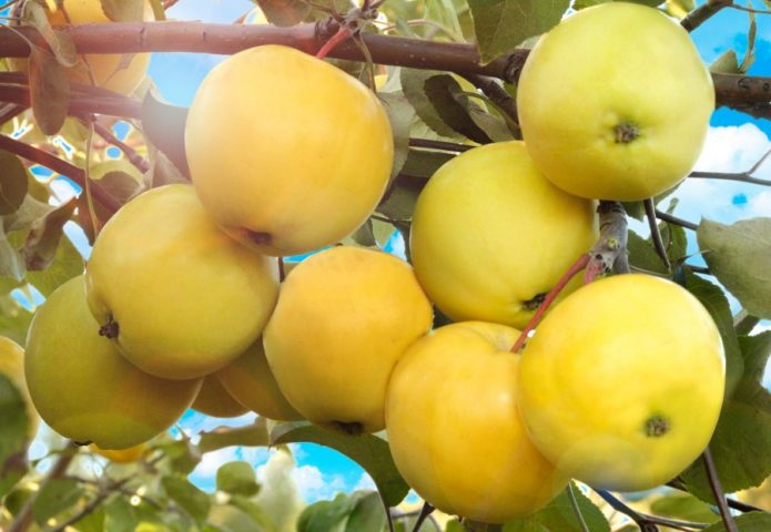 Яблоки сорта Папироянтарное
