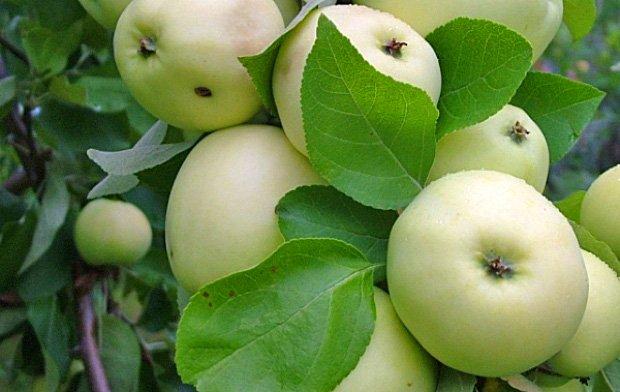 Яблоки сорта Дочь Папировки