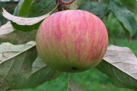 Яблоня сорта Коричное полосатое