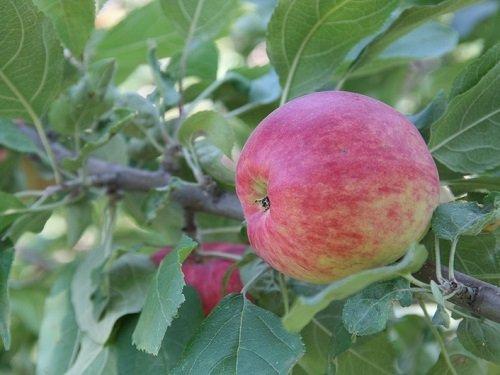 Яблоня сорта Квинти