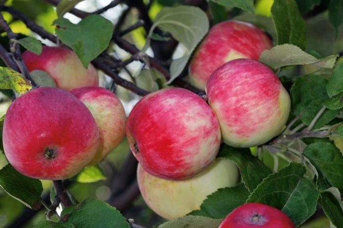 Яблоки сорта Серебряное копытце