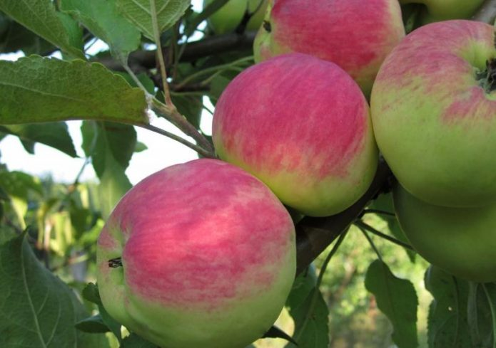 Яблоня сорта Мантет
