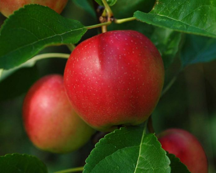 Яблоко сорта Саммер Ред