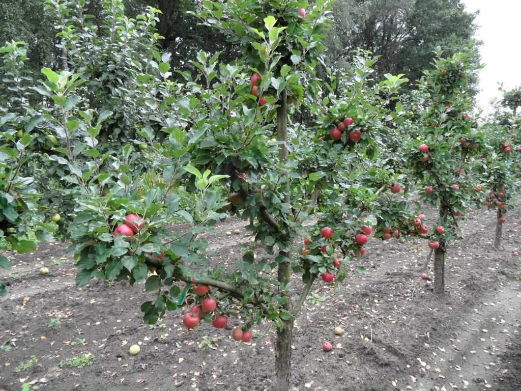 Формирование яблони на первый год