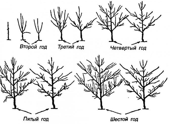 Порядок формирования вертикальной пальметты