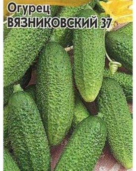 Сорт огурцов Вязниковский