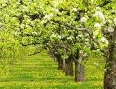 Аллея грушевых деревьев