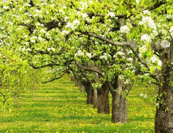 Правильная обрезка груши — залог здоровья растения и высокой урожайности