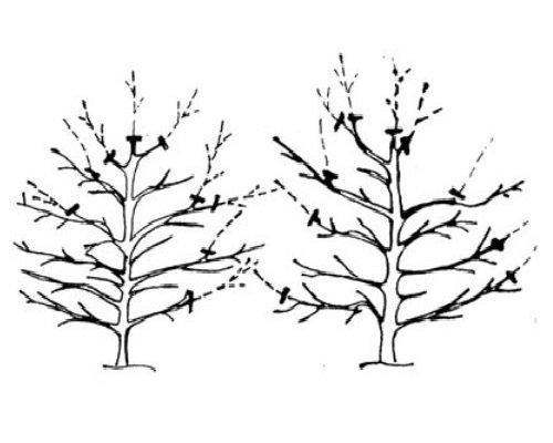 Схема веретеновидной кроны
