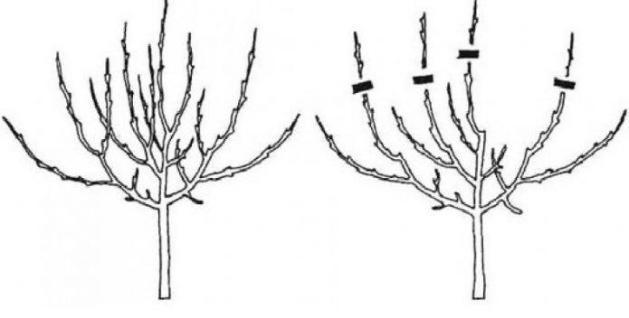 Схема чашеобразной кроны