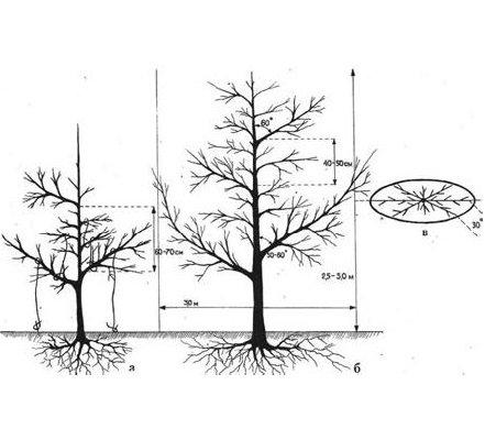 Схема полуплоской кроны