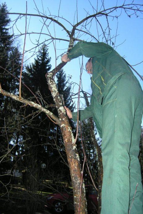 Мужчина делает осеннюю обрезку груши