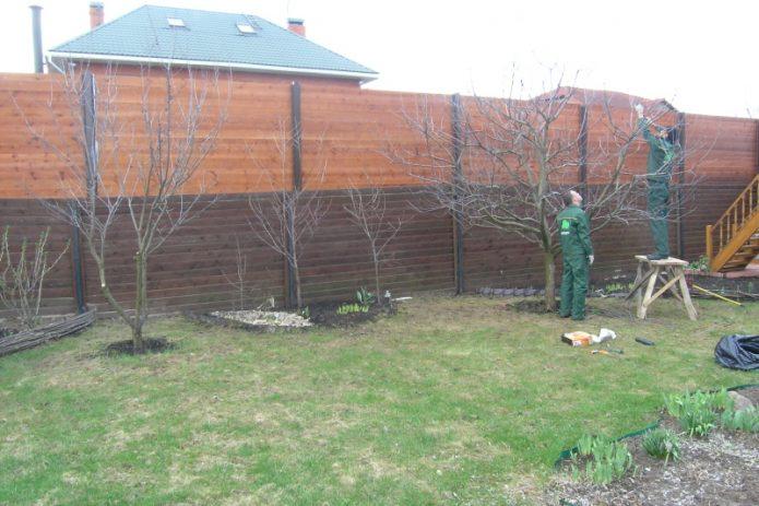 Мужчины обрезают грушевые деревья