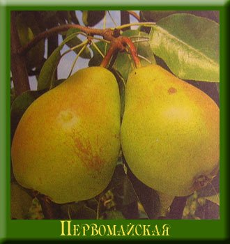 Сорт груши Первомайская