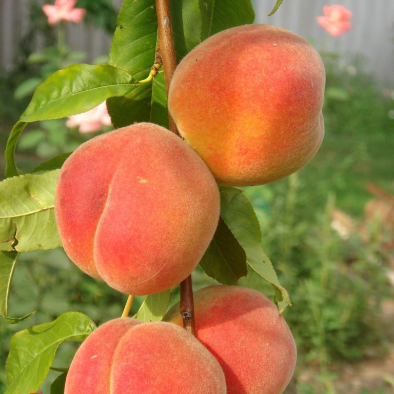 Картинки сортов персика