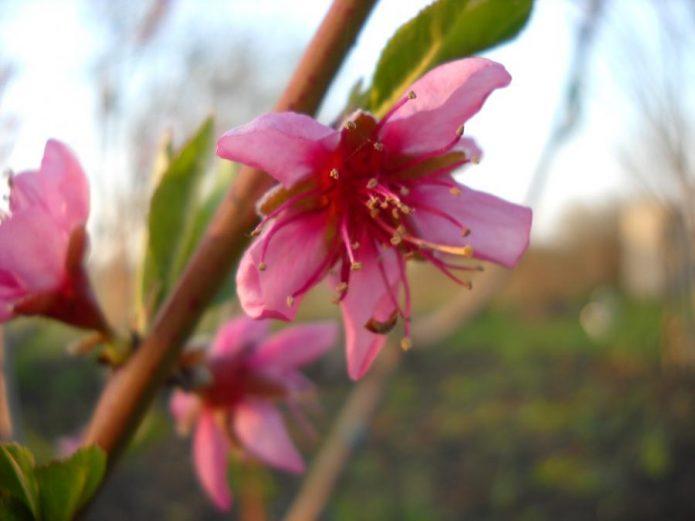Цветение персика Золотой юбилей