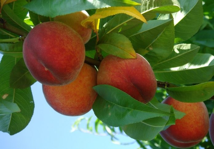Плоды персика Золотой юбилей среди листвы