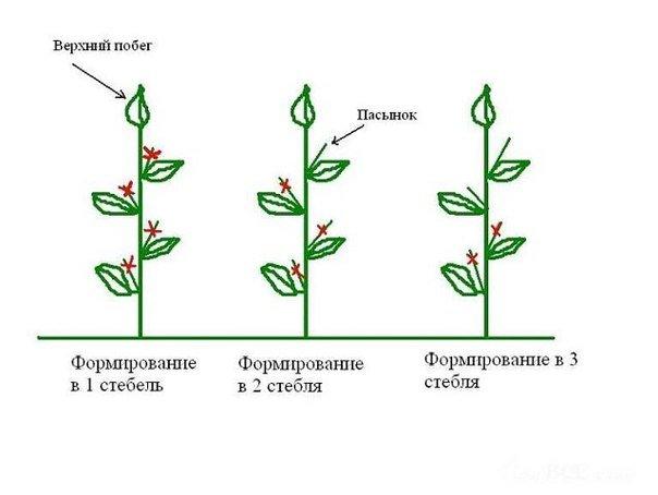 Рисунок формирования стебля огурца