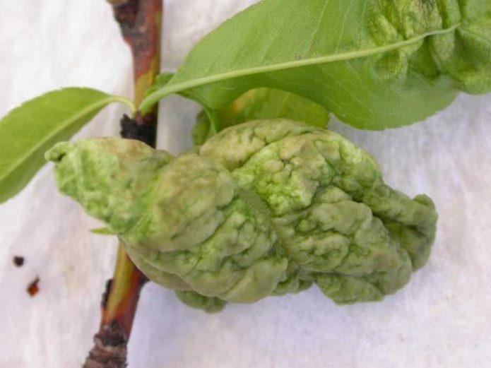 Спороношение грибка курчавости листьев персика