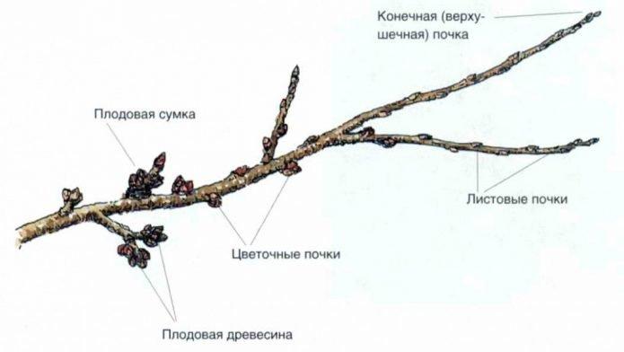 Разновидность почек персика