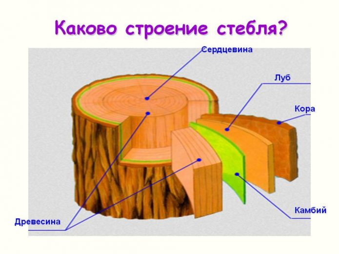Схема строения стебля
