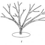 Кустовая формировка кроны