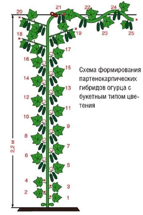 Формирование партенокарпика