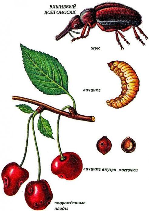 Ботанический рисунок: вишнёвый долгоносик