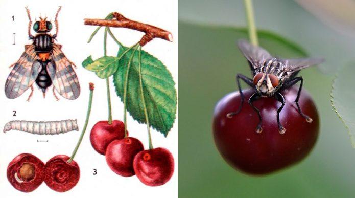 Коллаж — вишнёвая муха и её личинка
