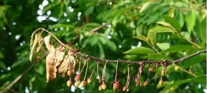 Ветка вишни, поражённая монилиозом