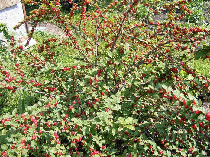 Плодоношение войлочной вишни